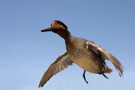 anas: taxidermied green-winged teal (anas crecca) in flight