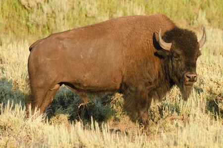 yellowstone: American Bison on the plain