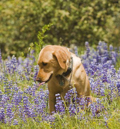 bitch: Perra Labrador sentado en las flores silvestres  Foto de archivo