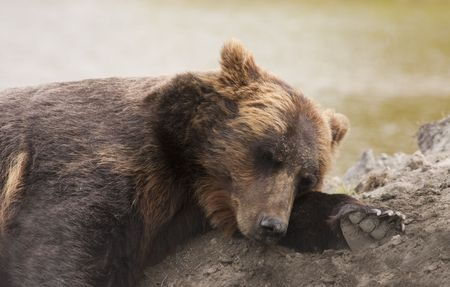 carnivora: female Alaskan brown bear resting with head on forearm