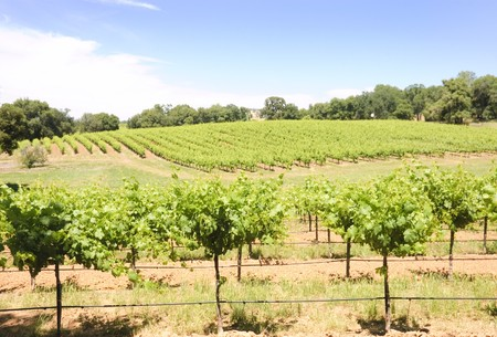 vineyard in the rolling hills of the Shenandoah valley in California