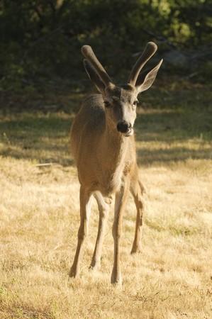 closeup of a male Californian Black-tailed deer Stock Photo - 7401037