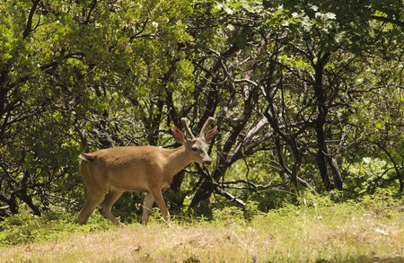 feeding through: Male (buck) Californian Black-tailed deer in velvet feeding and walking through typical forested area