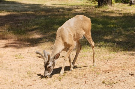 closeup of a male (buck) Black-tailed deer indigenous to California still in velvet Stock Photo - 7401082
