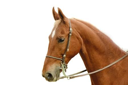 introduced: Detalle de un caballo de Saddlebred aislado en blanco