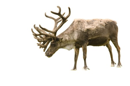 caribou: Bull Caribou isolated on white background