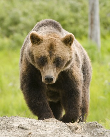 Alaskan Grizzly bear lumbering towards the viewer