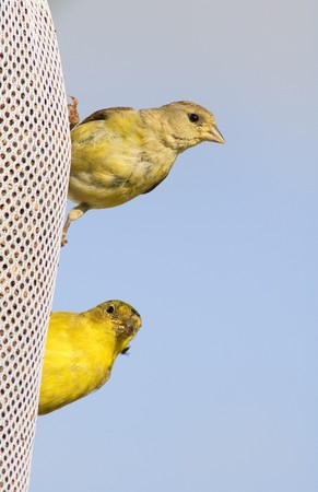 a male and female Lesser Goldfinch at a feeding sack photo