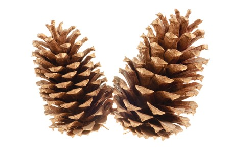 pair of pine cones isolated on a white background for use in christmas decorations Stock Photo - 7870970