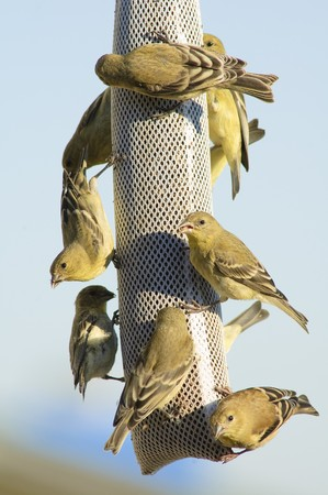 animal feed: Group of lesser goldfinches on a feeder sock Stock Photo