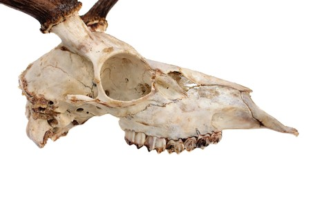fallow deer skull in profile isolated on white