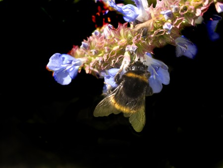 stamen wasp: native bumble bee gathering pollen in a world honey crisis due to africanized bees taking over being more aggresive and prolific than native bees