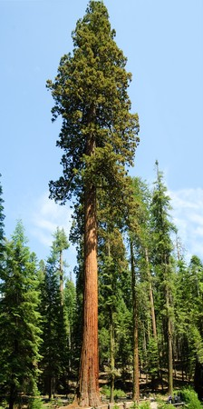 very tall Sequoia Gigantica in Mariposa grove, in Yosemite National Park, California, USA