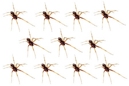 agelenidae: closeup of an army of house spiders