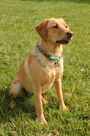 bitch: Atenta perra Labrador sentado sobre c�sped y a la espera de un comando Foto de archivo