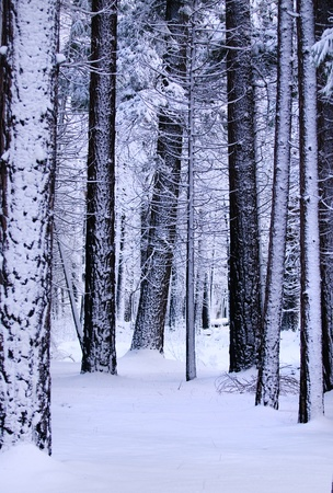 Snow covered forest in Yosemite national park photo
