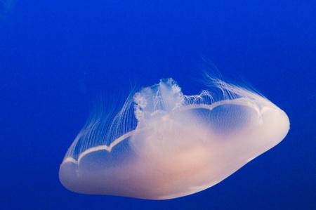 swimm: jellyfish swimming against blue background