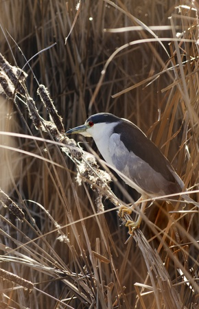Black crowned Night Heron (Nycticorax nycticorax) on the reeds photo