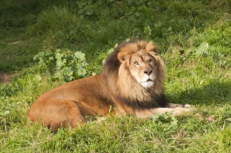 Male Lion (panthera Leo) resting after a meal Stock Photo - 8941685