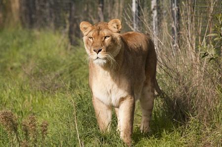 Lioness stalking prey with a concentrated look Stock Photo - 8941702
