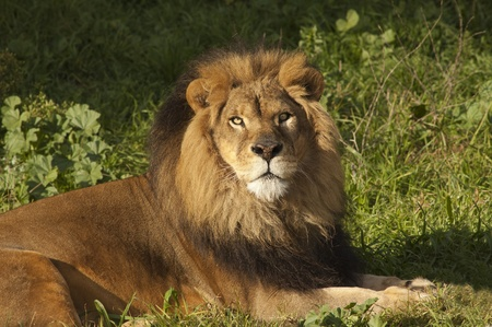 Male Lion (panthera Leo) resting after a meal Stock Photo - 8941713
