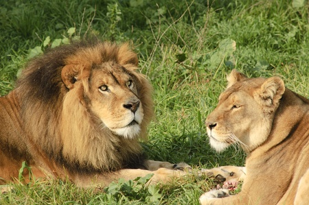 Male and female lions enjoying a the remains of a meal, the male intently watching something Stock Photo - 8941721