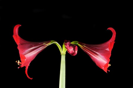 Amaryllidaceae over a black background