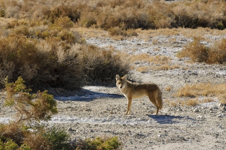 carnivora: Coyotes in Death Valley