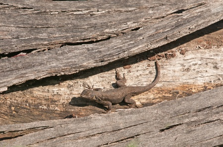 sunning: Western Fence Lizard, sunning itself on a log