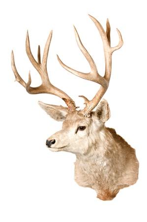 mule deer head isolated on white Фото со стока - 9343133