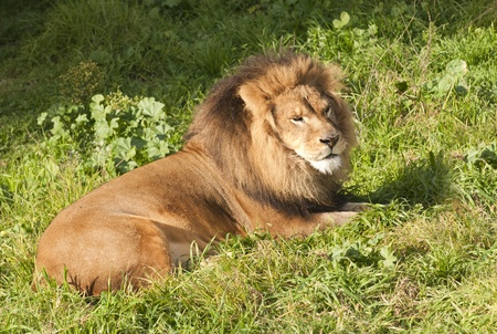 male Lion resting after a meal Stock Photo - 9343044