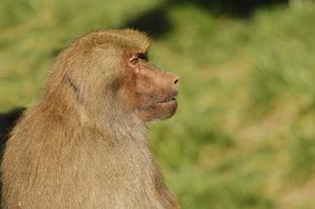 Baboon sitting looking to the side in profile
