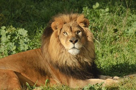Male Lion in repose watching with intent in the setting sun Stock Photo - 9343061