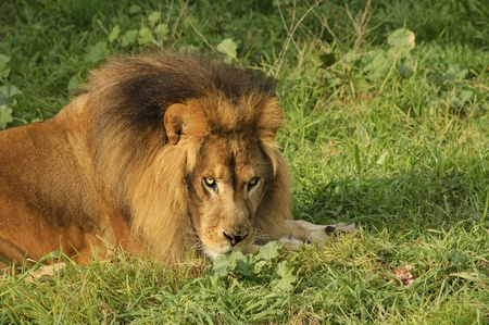 Male Lion in repose watching with intent in the setting sun Stock Photo - 9343081