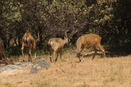 small group or herd of Black-tailed bucks Stock Photo - 10875230