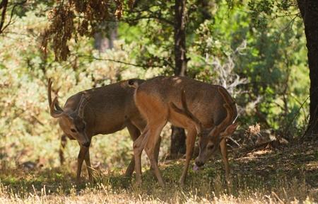 ruminants: Pair of Black-tailed bucks in the shade