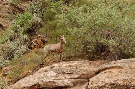 rocky mountain bighorn sheep: Rocky Mountain sheep in Cedar breaks National Park, utah