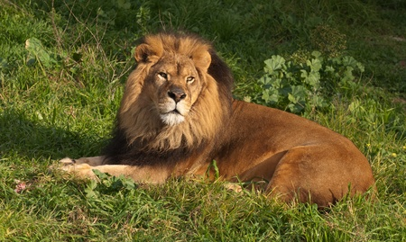 Lions resting after a meal Stock Photo - 12853004