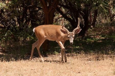 Californian Black-tailed buck Stock Photo - 13736138