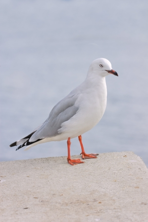 closeup of a red billed Gull, another species native to New Zealand Stock Photo - 13735739