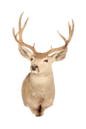 taxidermy mount of a typical Mule deer isolated on white photo