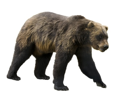 Grizzly bear isolated on white Stock Photo