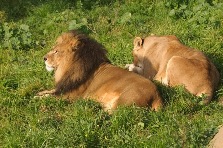 Lions resting after a meal photo