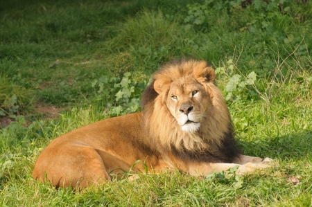 Lion resting after a meal Stock Photo - 15322362