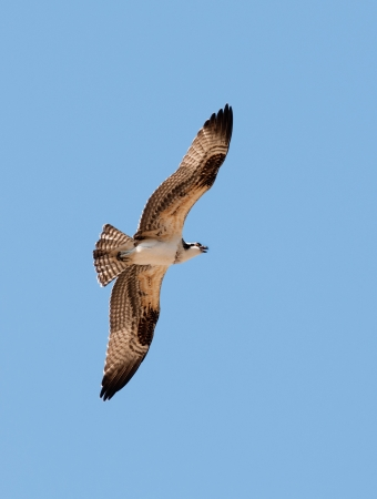 carnivora: Osprey in flight against a blue sky Stock Photo