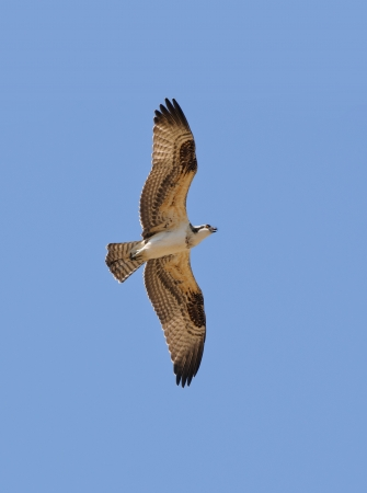 aves: Osprey in flight against a blue sky Stock Photo