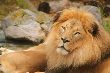 lion resting Stock Photo - 15322250