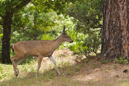 feeding through: Male  buck  Californian Black-tailed deer in velvet feeding and walking through typical forested area