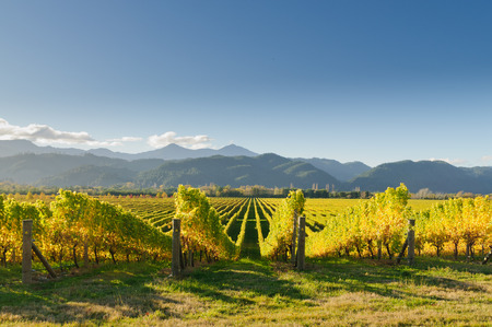 zealand: Vineyard in the Marlborough district of New Zealand at sunset Stock Photo