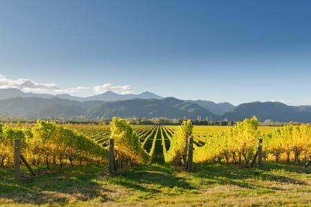Wijngaard in de wijk Marlborough van Nieuw-Zeeland bij zonsondergang Stockfoto